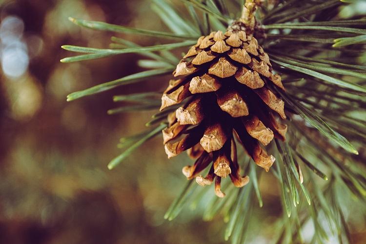 Maine Pine Cone